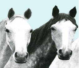 Photo of some equine members of the Victoria Police Force
